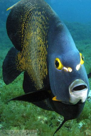 Mergulho em Fajardo - peixe-frade