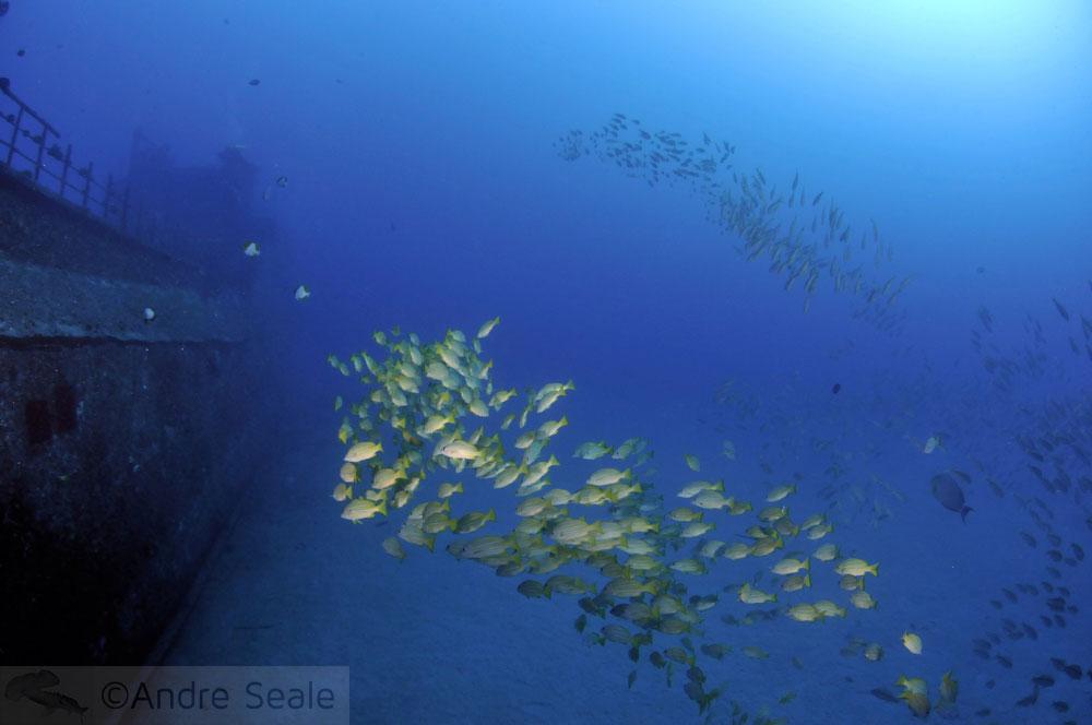Cardume de peixes - Mergulho no Sea Tiger - Honolulu