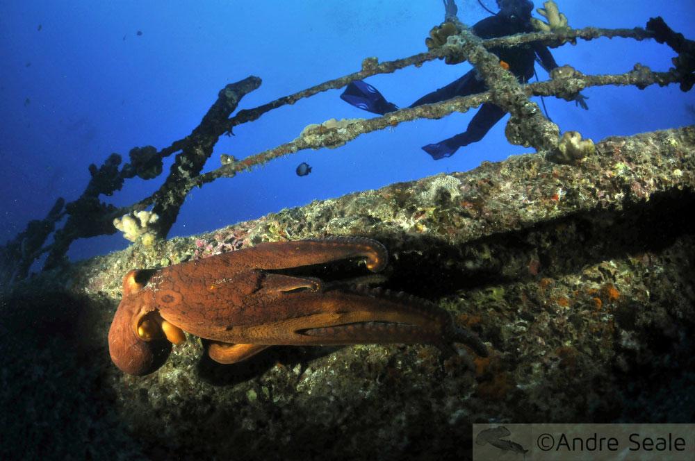Polvo - naufrágio Sea Tiger