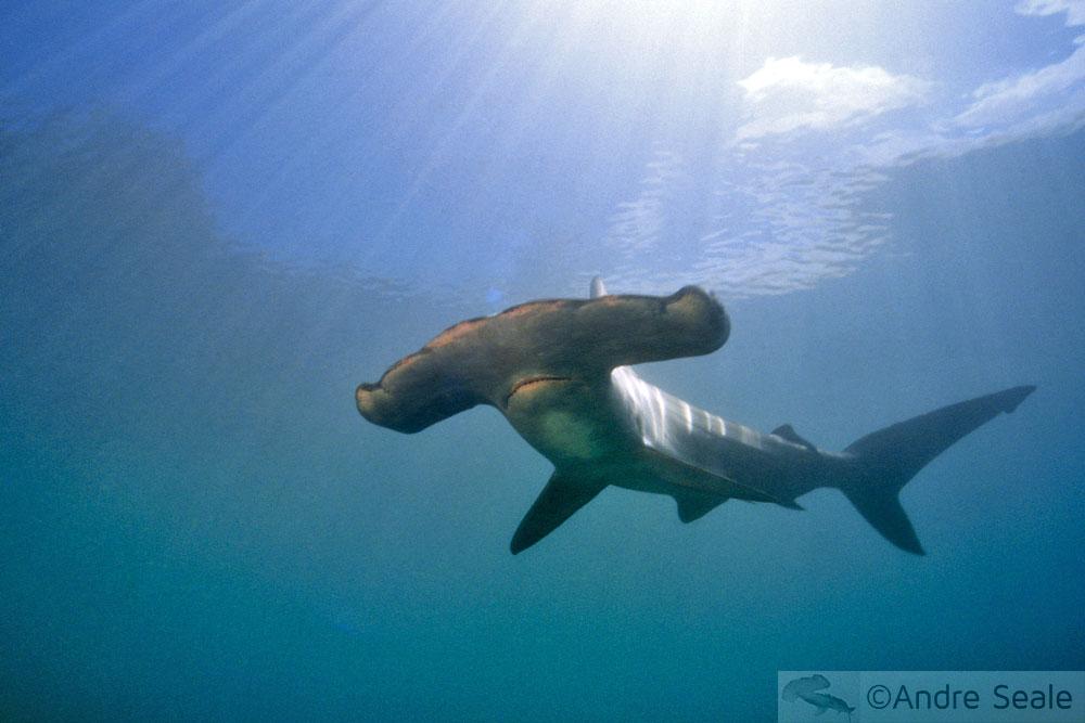 Dia histórico para a conservação dos tubarões