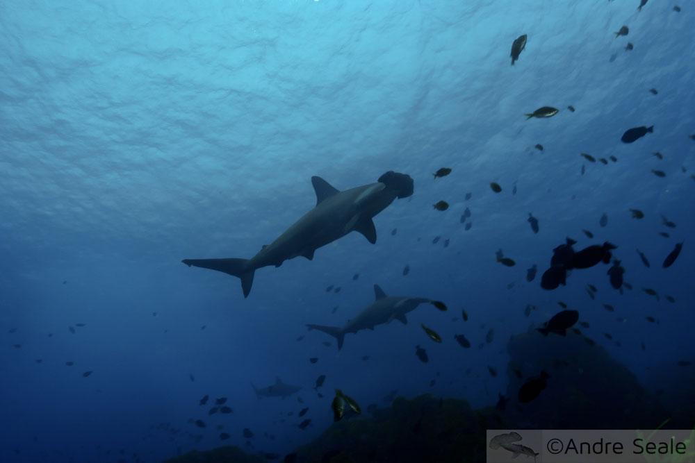 # CITES4Sharks - tubarões-martelo