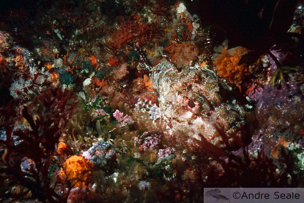 Peixe maori - peixe-escorpião - mergulho em Poor Knights