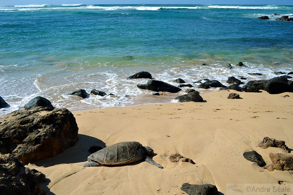 Dois dias em Oahu - tartaruga em Laniakea