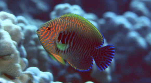 Sexta Sub: peixe anjo de Potter