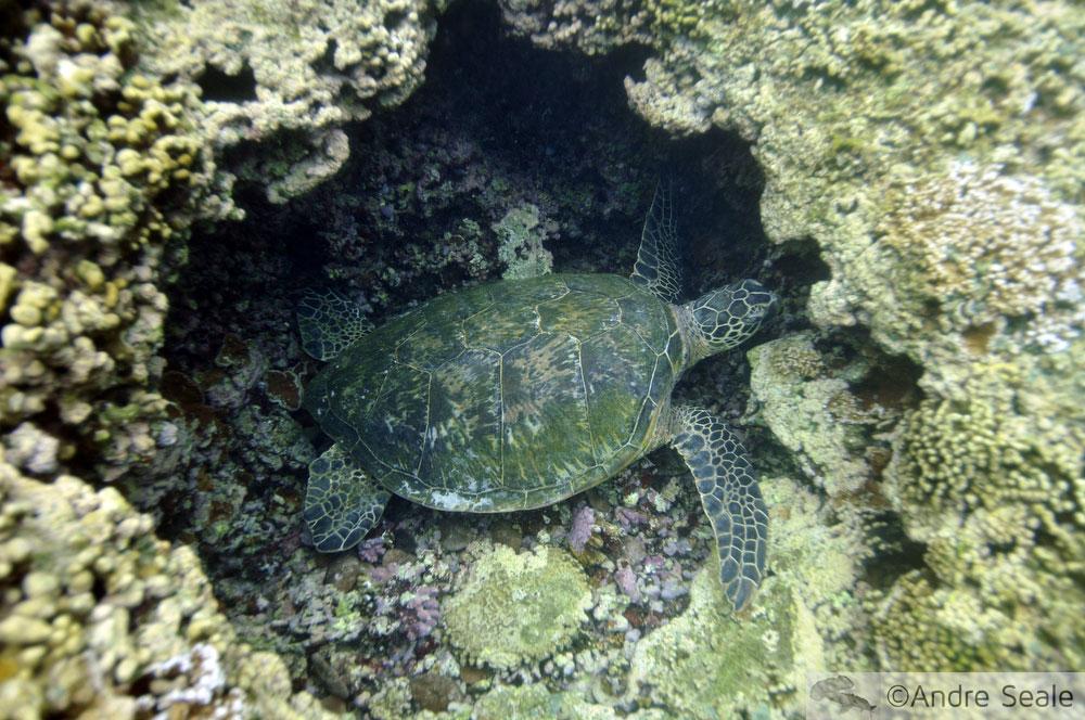 Tartaruga marinha dormindo