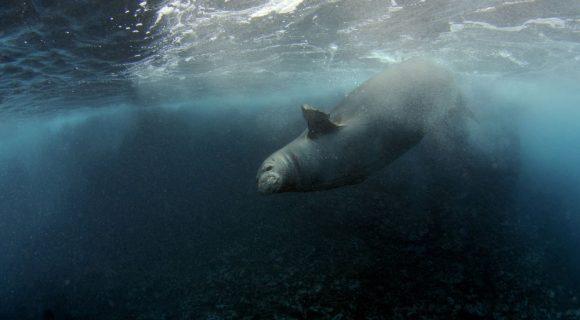 Sexta Sub: a mioglobina das focas