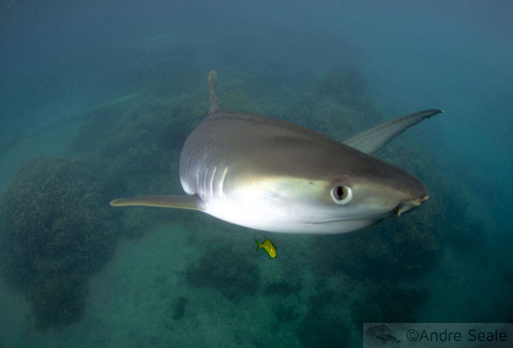 Shark Week - Sexta Sub