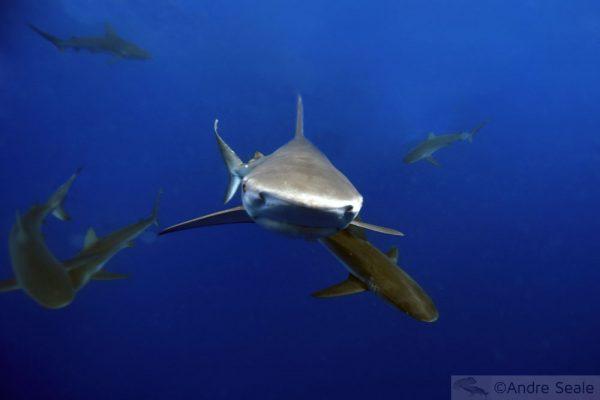 Cartoons da Shark Week