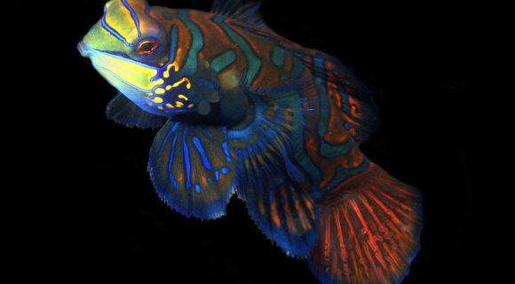 Sexta Sub: peixe-mandarim de Malapascua