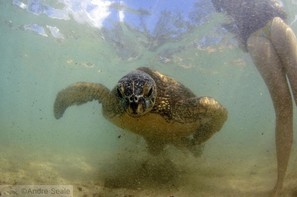 Tartaruga marinha - Havaí do Globo repórter