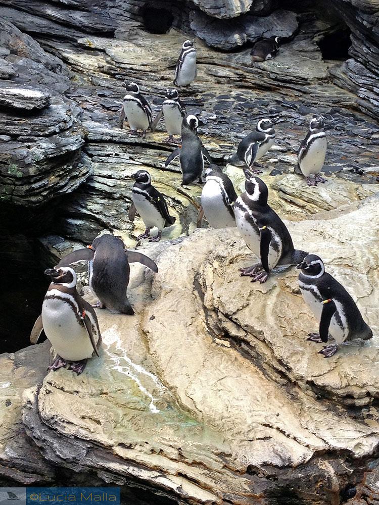 Pinguins de Magalhães - Oceanário de Lisboa - Portugal