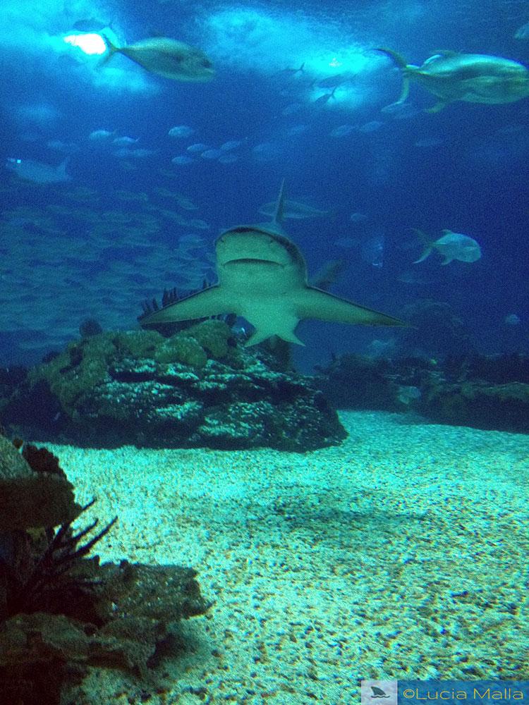 Tubarão em cativeiro
