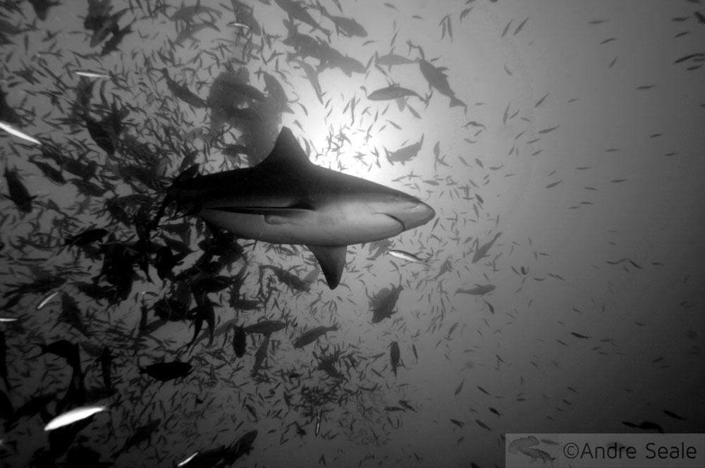 Minhas top 5 viagens com tubarões - Fiji
