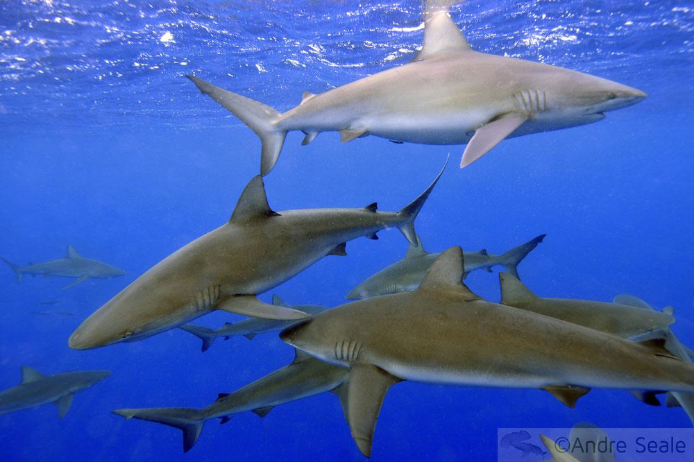 Minhas top 5 viagens com tubarões - Havaí - tubarão de Galápagos