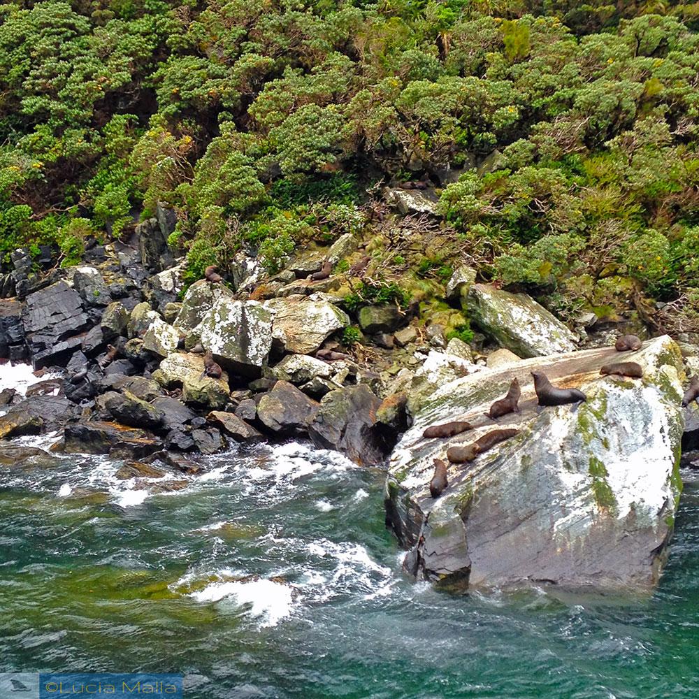 Focas no Milford Sound - Nova Zelândia