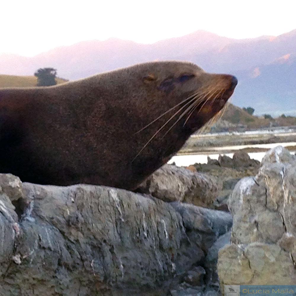Fur seal - Kaikoura