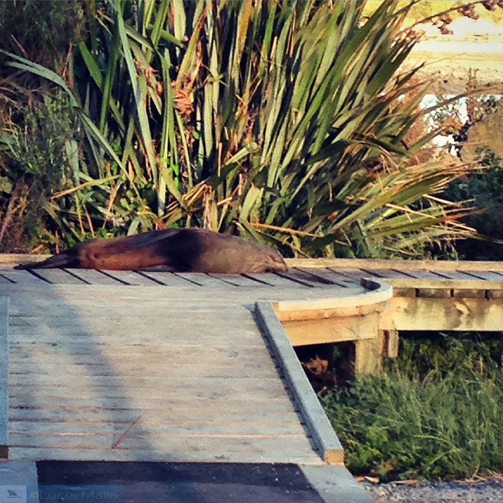 Focas - Nova Zelândia em 12 dias - Wellington e Rotorua