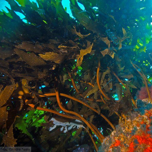 Nova Zelândia em 12 dias - kelp neozelandês