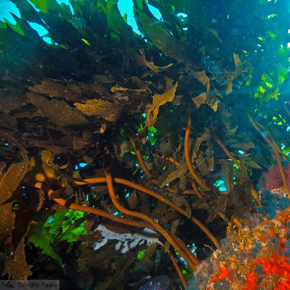 Roteiro Nova Zelândia em 12 dias - kelp neozelandês - Poor Knights