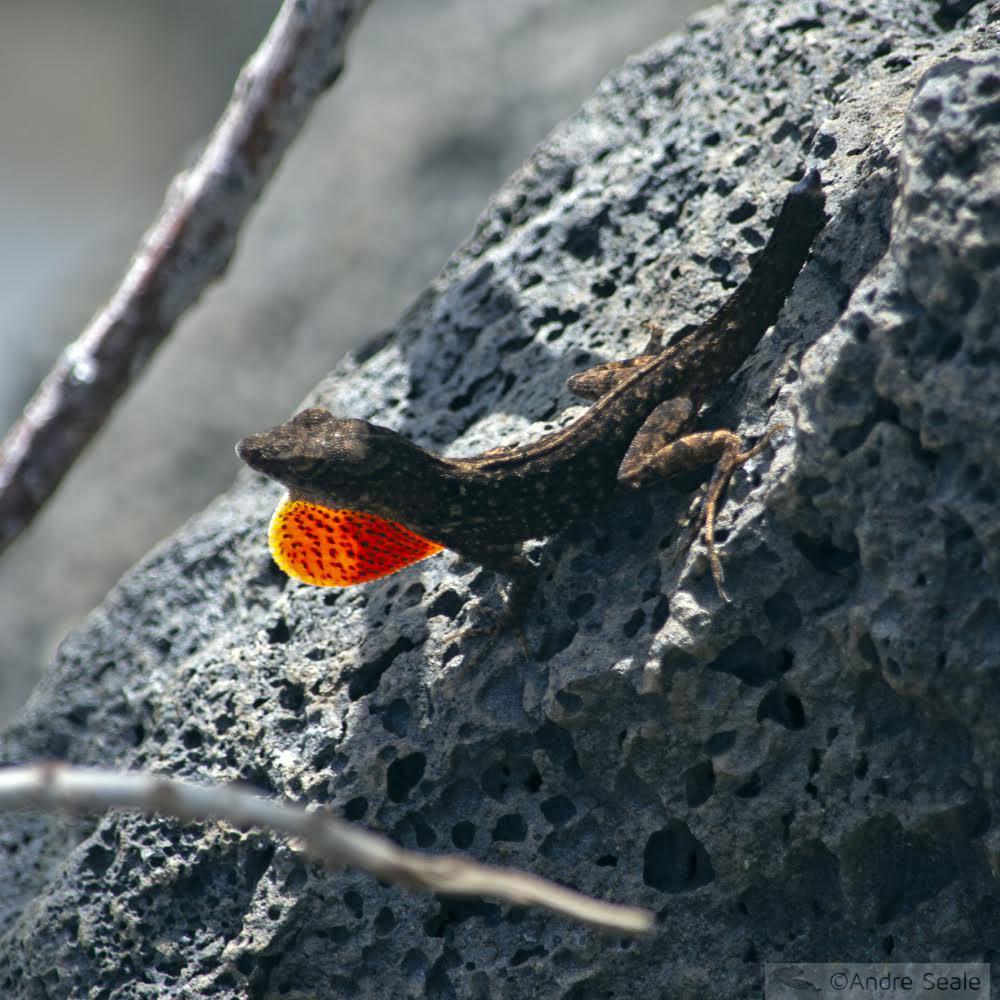 Cobras e lagartos do Havaí - anole