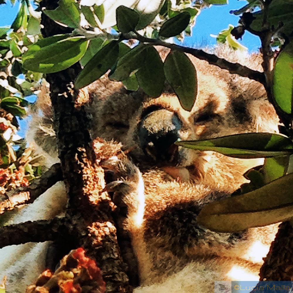 Great Ocean Road - coala