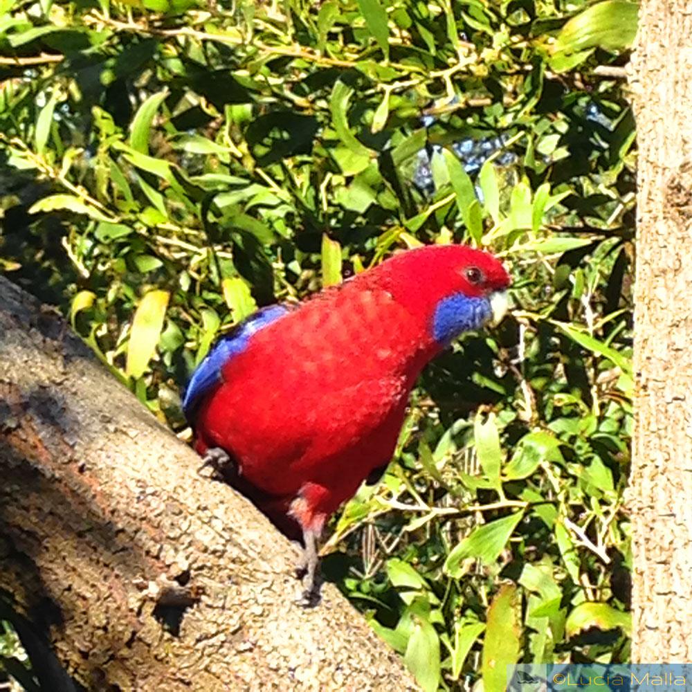 papagaio-rei australiano