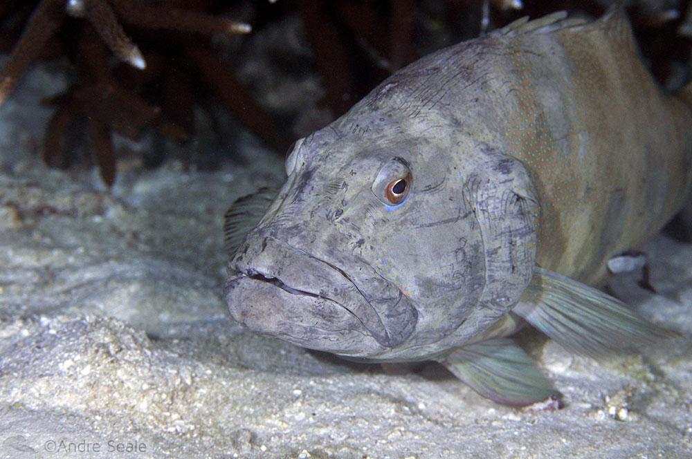 Mergulho em Heron Island - garoupa idosa - Grande Barreira de Corais