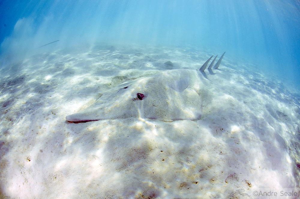 Tubarão-viola - mergulho em Heron Island