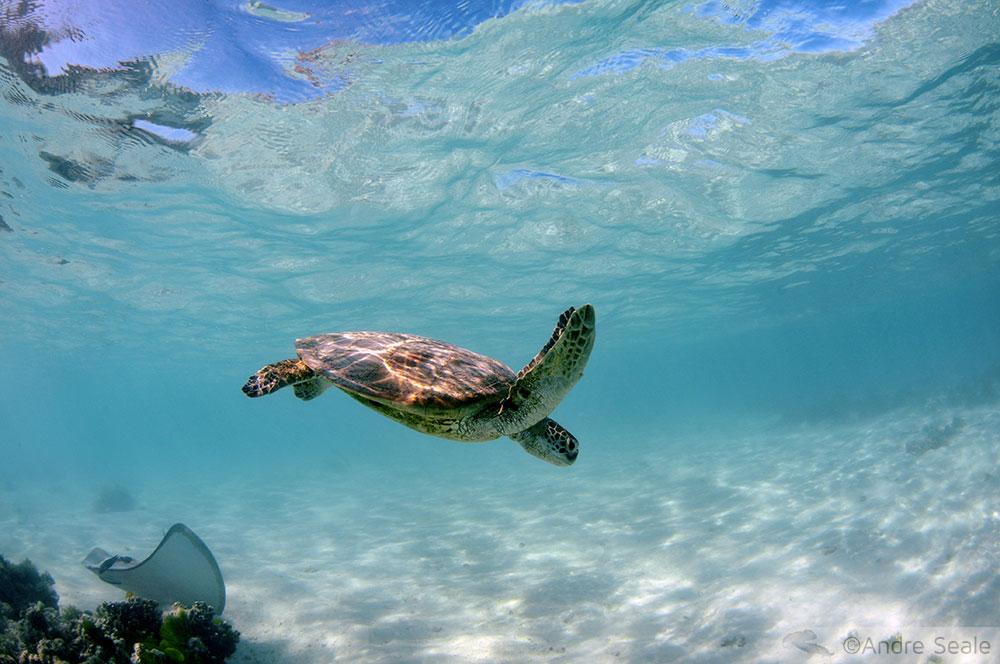 Tartaruga marinha - mergulho em Heron Island