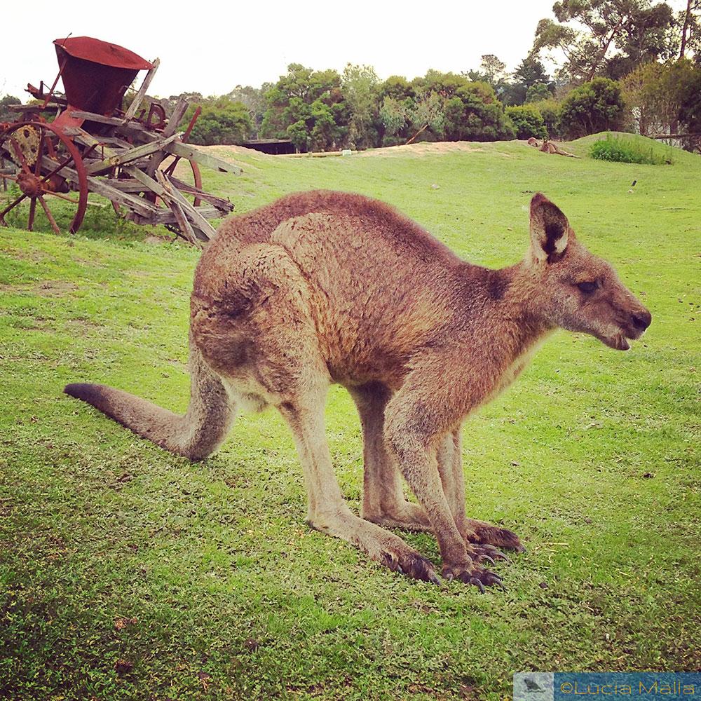 Melbourne - canguru na Austrália