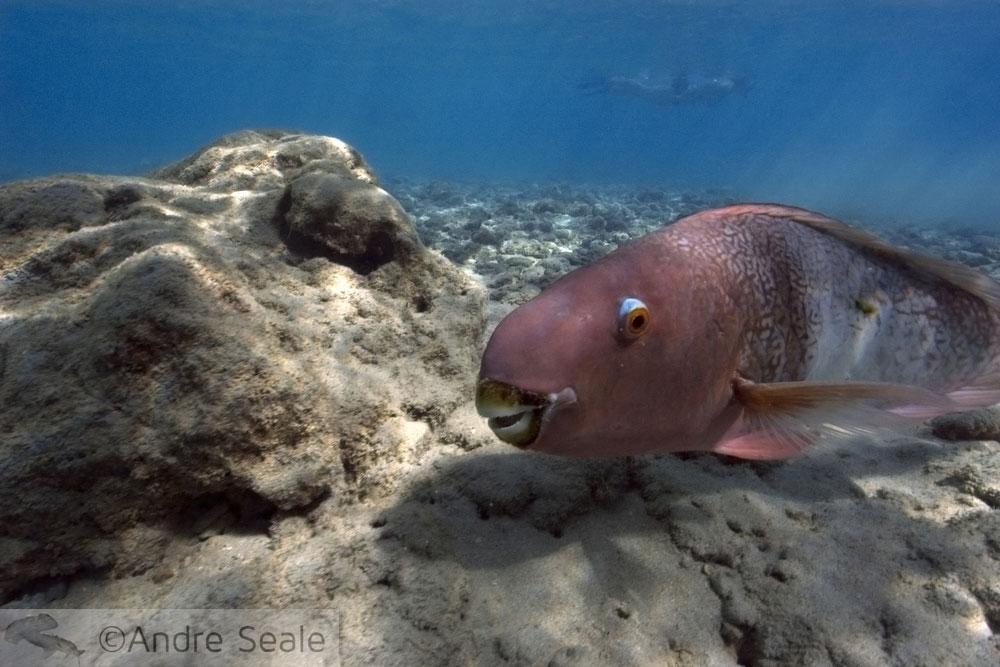 Hanauma Bay - peixe papagaio