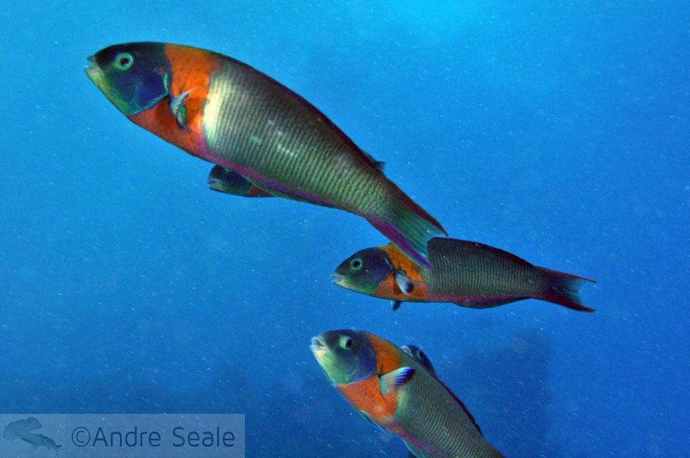 Peixe Bodião-de-sela - Havaí