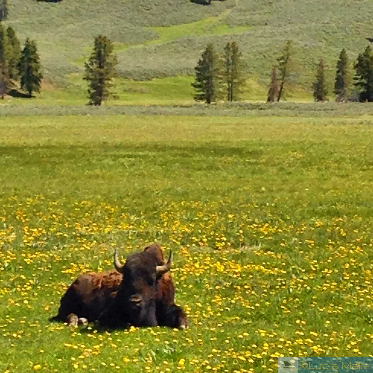 Bisão em Yellowstone
