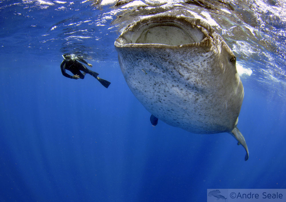 Sustentabilidade do mergulho com Tubarões - tubarão-baleia