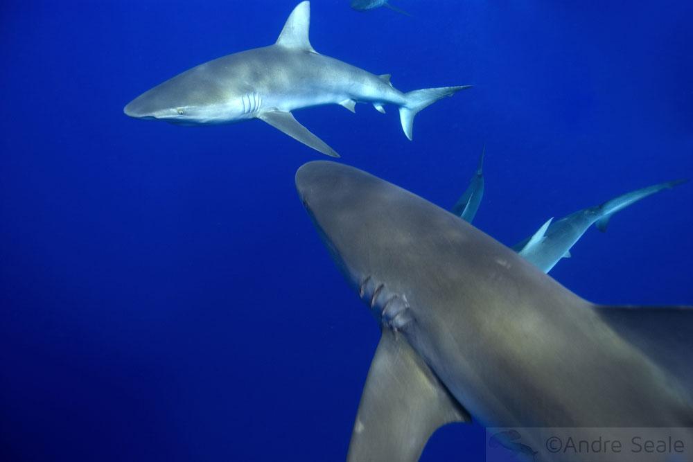 Tubarões de Galápagos - Dia Mundial da Vida Selvagem