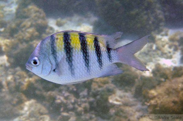 Peixe - corais de Maragogi - Alagoas