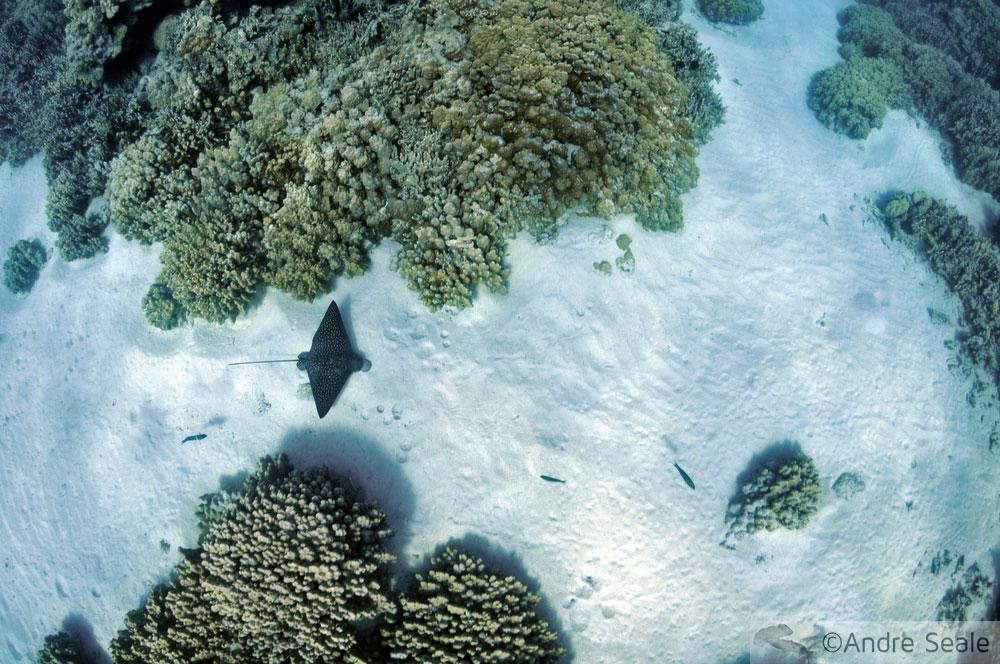 Arraia entre corais - Havaí