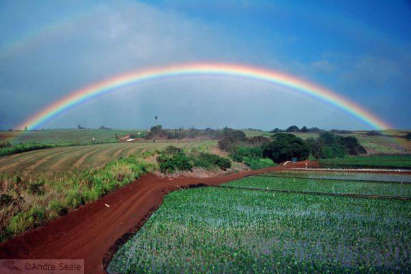 Campo de abacaxi em Oahu - Havaí
