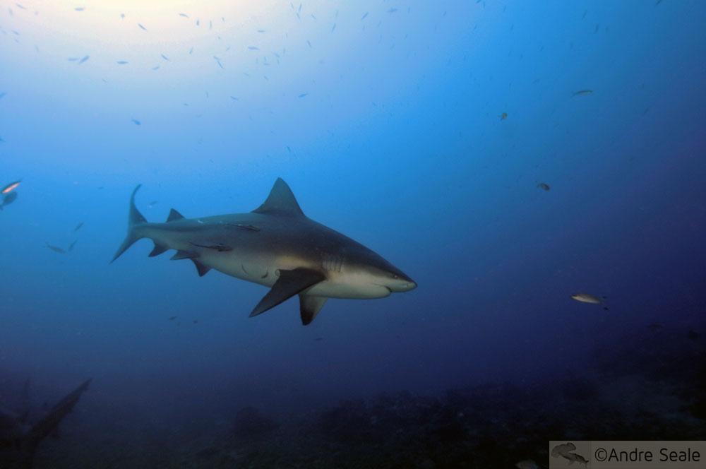 Viajando - tubarão