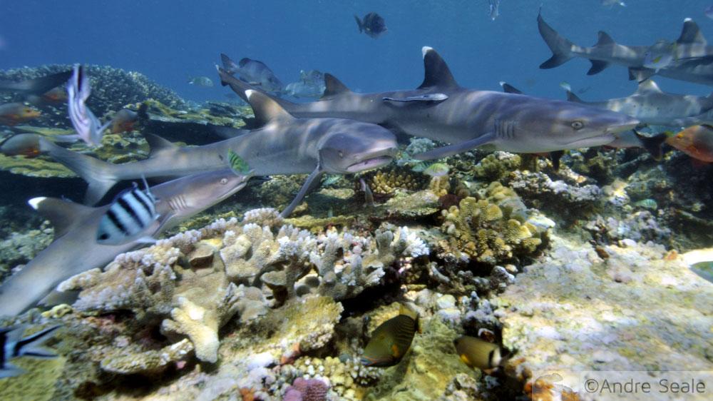 Fijian sharks
