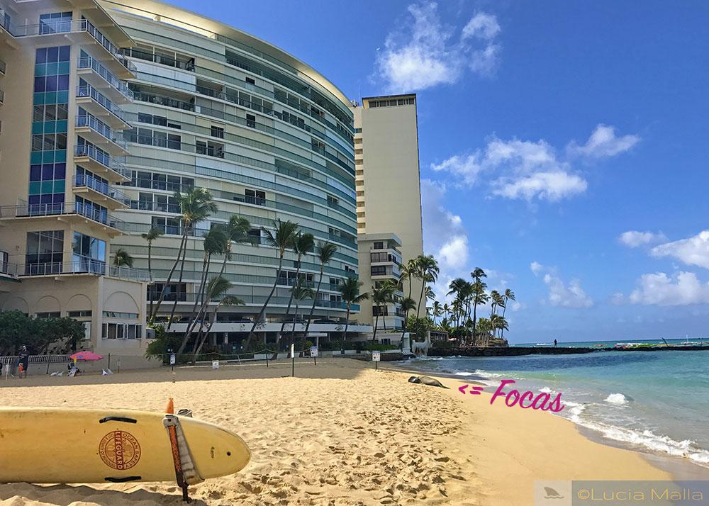A foca-monge de Waikiki