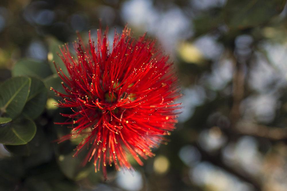 Flor de ohia - Big Island - Havaí
