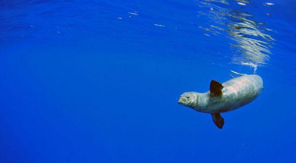 Sexta Sub: a foca-monge de Niihau