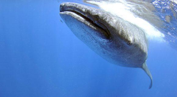 Sexta Sub: dia do tubarão-baleia