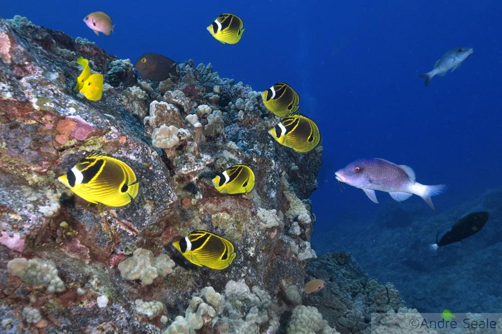 Mergulho no Havaí - corais e peixinhos coloridos