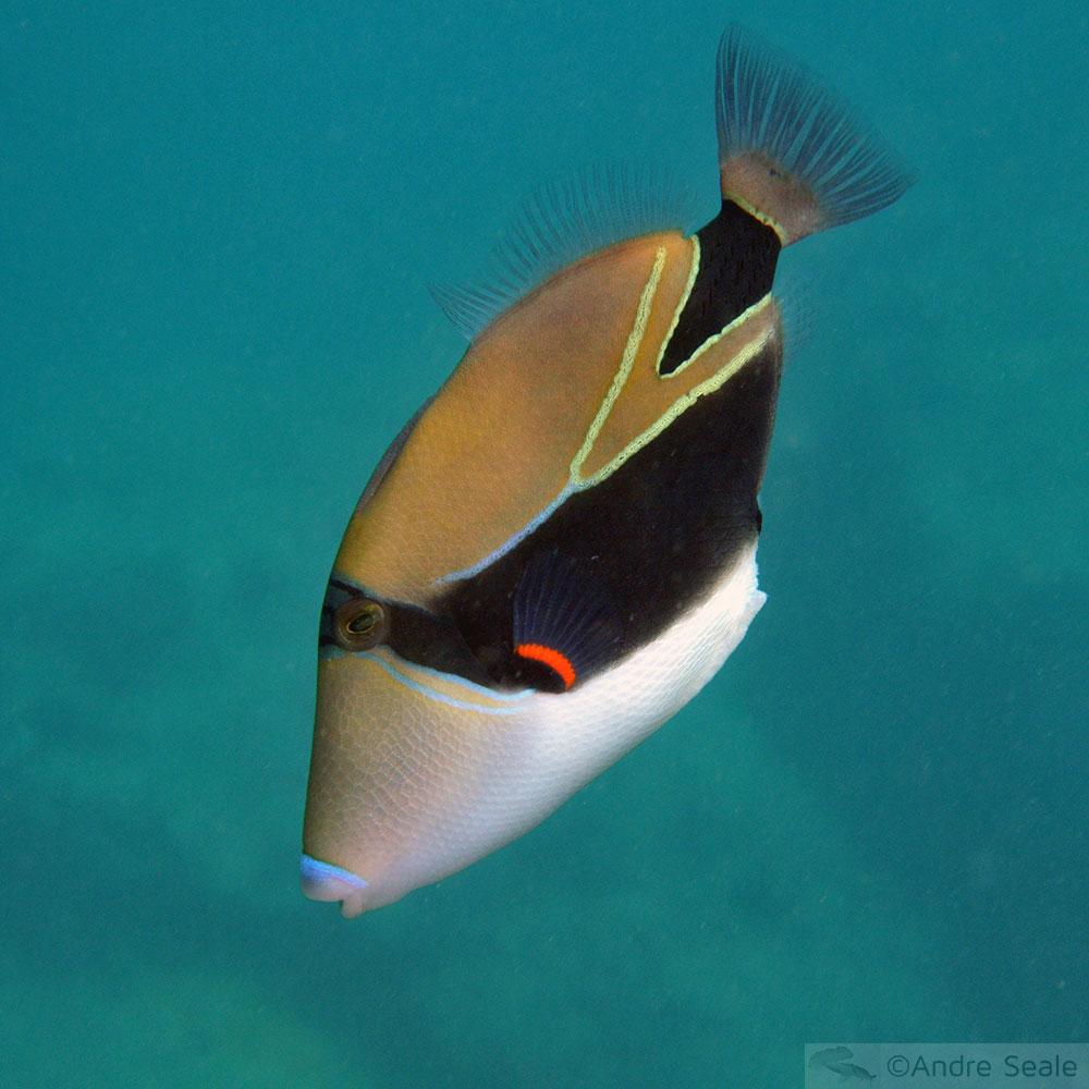 humuhumunukunukuapua'a - peixe-símbolo do Havaí