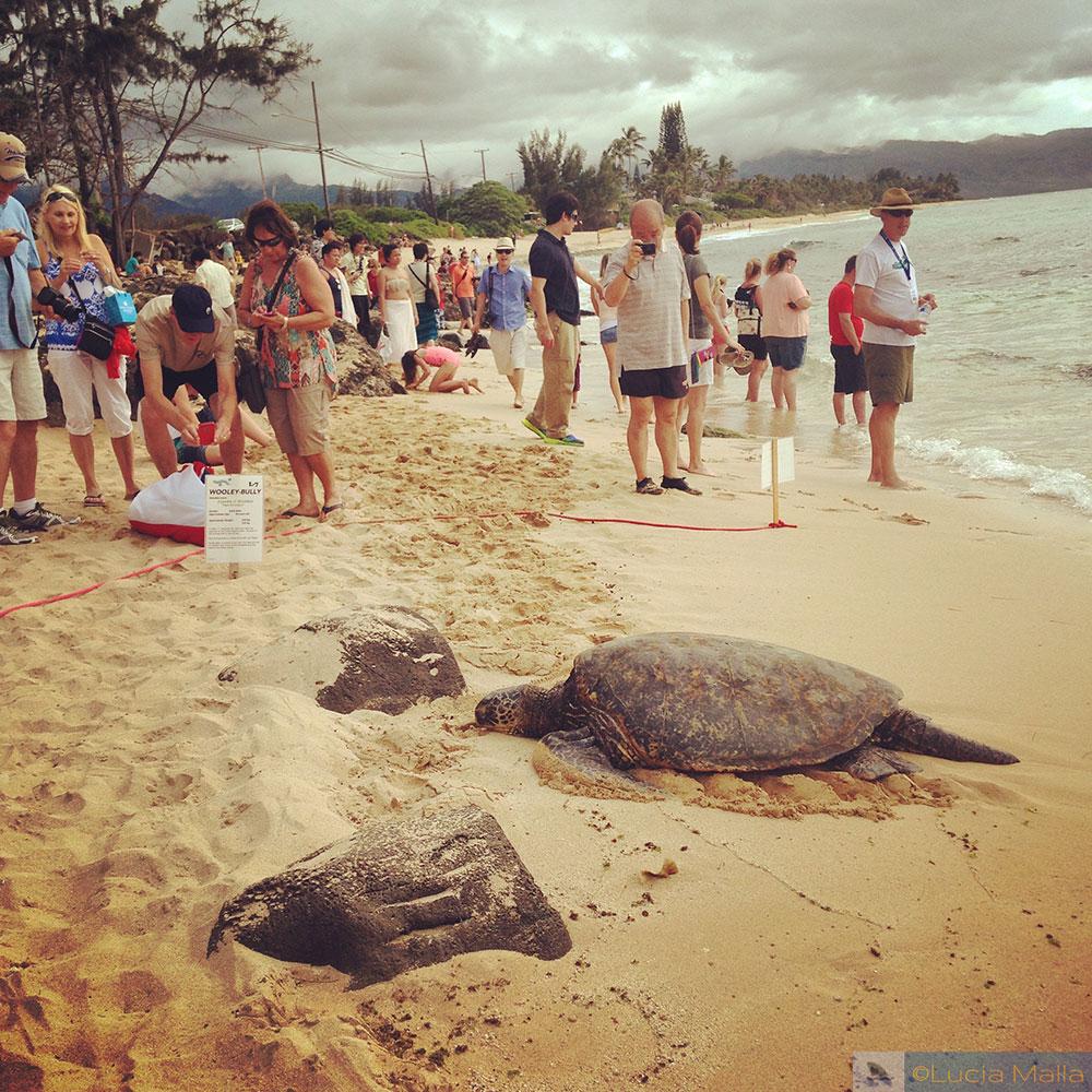 Tartaruga verde - Laniakea Beach