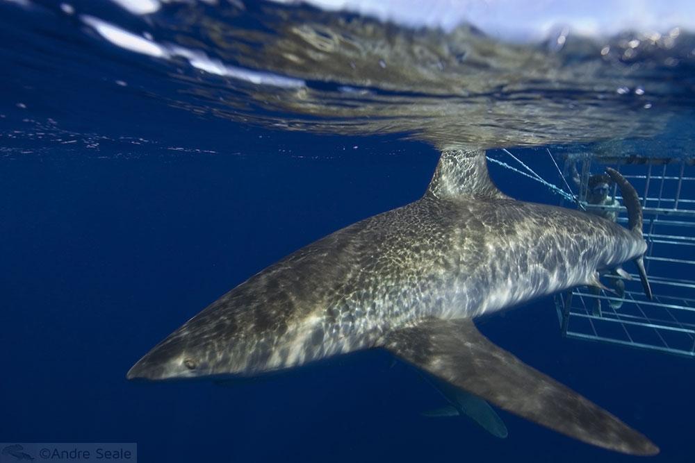 Guia da Malla para o North Shore de Oahu - mergulho com tubarões