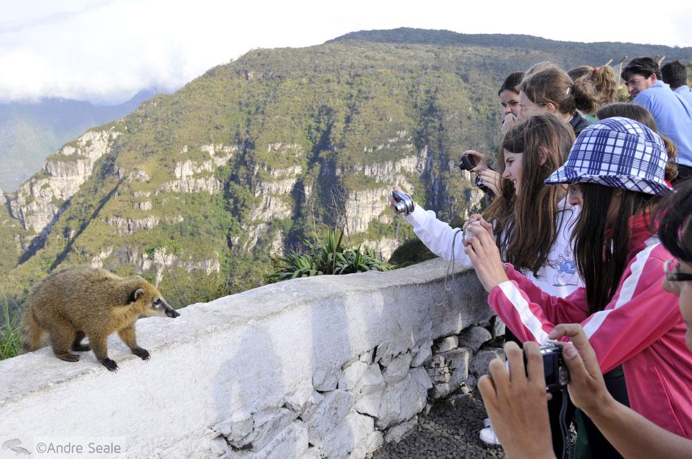 Quati e um grupo de turistas - Serra do Rio do Rastro - SC
