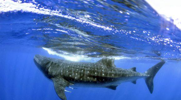 Sexta Sub: proteção aos tubarões – no mundo todo!